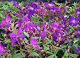 Sandys Nursery Online Tibouchina lepidota Ecuador Purple Princess GloryBush ~LOT of 2~ Starter Plants