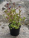 Dwarf Plumbago aka Ceratostigma plumbagoides Live Plant Fit 1 Gallon Pot
