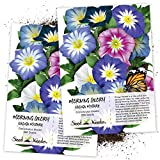 Seed Needs, Ensign Morning Glory Mixture (Convolvulus Tricolor) Twin Pack of 250 Seeds Each