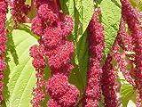 Amaranthus Caudatus Red Tail or Love Lies Bleeding Nice Garden Flower By Seed Kingdom 100 Seeds
