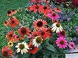 ECHINACEA 'CHEYENNE SPIRIT'- CONEFLOWER - STARTER PLANT