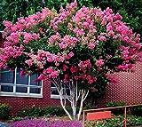 Pink Velour Crape Myrtle Tree - Live Plant - Trade Gallon Pot