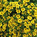 50 Seeds - Bur Marigold (Bidens Aurea) baskets containers or tumbling over Wall