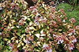 Abelia Edward Goucher Qty 30 Live Plants Flowering Butterfly Plant