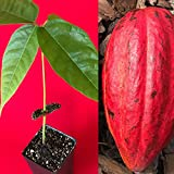 New and Healthy Red Theobroma Cacao Cocoa Chocolate Tropical Fruit Tree Potted Plant 10-13""