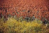 20 Syrup ROX ORANGE SORGHUM Waconia Sugar Cane Bicolor Vegetable Grain Seeds