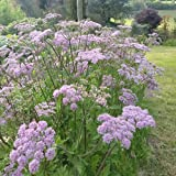 Plant World Seeds - chaerophyllum hirsutum roseum Seeds