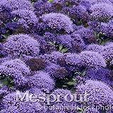 50 seeds Throatwort Trachelium Caeruleum Nectar plants seeds 4 #32694076371ST