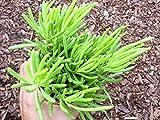 Succulent Plant Senecio Vitalis Serpents Narrow Leaf Chalkstick Fingers Succulent Gift Ideas Pot Gift Plant Easy to Care Live Plant