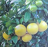 Oroblanco Grapefruit Tree - (2 year old) Can not ship any citrus outside the state of Texas