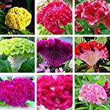 Potato001 100 Pcs Mix Color Celosia Crested Cockscomb Seeds Garden Easy Growing Flower