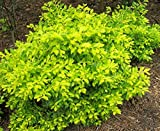 1 Healthy Starter Plant of Duranta Cuban Gold
