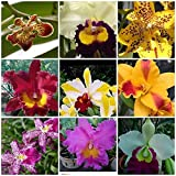 4 Live Orchid Plants to Choose (Cattleyas)