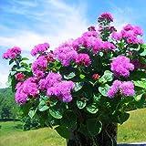 Ageratum houstonianum Pink Flames Flower Seeds from Ukraine
