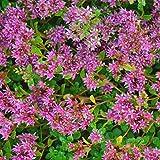 Sedum Seeds - Dragons Blood - 1000 Seeds - Rose Colored Star Flowers - Perennial Decorative Groundcover House Plant - Flower Garden - Sedum Spurium