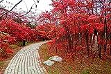 100 Seeds Rhus Typhina Seeds Strong Adaptability Staghorn Sumac Tree seeds bonsai DIY home garden