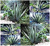 20 x AGAVE kerchovei Plant Seeds - lance-shaped leaves with prominent, large, variably disposed lateral teeth - for Alpines and Rock Garden - By MySeeds.Co