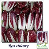 Mayan Seeds LLC Buy 2 Get 1!(Can accumulate ) 1 Pack 30+ Seeds Heirloom Blue Sailors Succo Chicory Curly Endive Cichorium Seeds