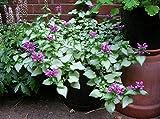Purple Dragon Lamium Set of 3 Pots Groundcover Plants