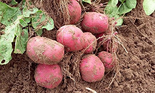 Simply Seed - 5 LB - Red Pontiac Potato Seed - Non GMO - Organic Grown - Order Now for Fall Planting
