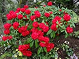 Rhododendron Taurus - Large #5 Container Size Plant - Flowering Shrub - Rhododendron of the Year!