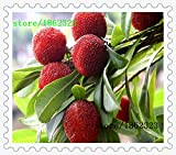 10 pcs/pack Arbutus unedo Strawberry Tree delicious chinese fruit seeds for healthy and home garden easy grow