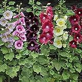 David's Garden Seeds Flower Hollyhock Single Mix SL9099 (Multi) 200 Non-GMO, Open Pollinated Seeds