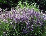 "Garden Sage - Salvia officinalis - Hardy Perennial - 3"" Pot"