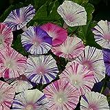 Kings Seeds - Ipomoea Purpurea Carnevale di Venezia - 45 Seeds