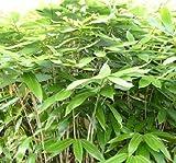 Sasa Palmata 'Nebulosa' live bamboo plant #1 size, very large tropical leaves.