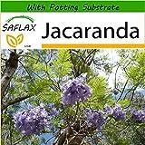 SAFLAX - Jacaranda - 50 Seeds - with Soil - Jacaranda mimosifolia