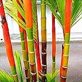 20 Lipstick seeds Lipstick Palm Cyrtostachys Renda Tree, red sealing wax palm