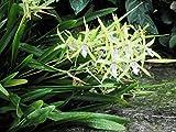 Miltonia: Orchid