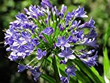 1 Agapanthus africanus(Large Plant root)African Blue Lily Hardy,Lily of the Nile