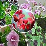 2015 1000pcs Oxalis seeds, Chinese family Chinese flower seeds (Mix minimum order) Bonsai Plant