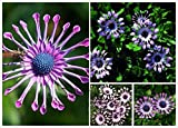 Green's Gardens Rare Heirloom 50 Trailing African Daisy Seeds ,easiest growing flower, hardy plants flower seeds
