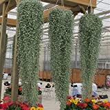 Dichondra Repens( Silver Falls) 10 Seeds- Cascade 3 ft, baskets, windowboxes