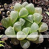 ADB Inc Variegated Haworthia Cooperi Pilifera Seed