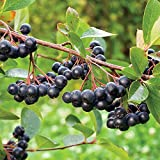 "'Viking' Black Chokeberry Plant - Aronia - Shrub/Bonsai/Wine - 4"" Pot"