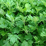 Mugwort Seeds (Artemisia vulgaris) 100+ Rare Medicinal Herb Seeds in FROZEN SEED CAPSULES for the Gardener & Rare Seeds Collector - Plant Seeds Now or Save Seeds for Years