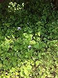 Violet Smaller Leaves, Plants Fragrant Perennial Fairy Garden Low Maintenance, lilac flowers, Australian violet - Viola Hederacea
