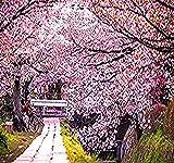 8 x JAPANESE SAKURA FLOWERING CHERRY Tree Seed - Prunus serrulata Seeds - Cherry Blossom - Zones 5 - 8 - By MySeeds.Co