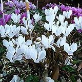 YoYoBoo 2016 New Cyclamen Hederifolium White Flower Seeds