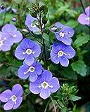 Georgia Blue Veronica - Speedwell - Quart Pot - Rich Blue Creeper