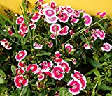 1000 Seeds Dianthus Chinensis Carnation Mixed