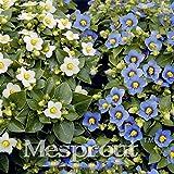 SOPHISTICATE 100 Exacum Affine Fragrance Bonsai Cascading Landscape Planning Easy Grow Floribunda Exacum Affine Bonsai Flower: 2