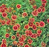 Gaillardia - Firewheel- 25 Seeds