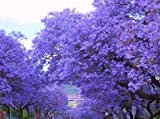 "Beautiful Flowering 3-7"" Tall Potted Plant Starter Blue Jacaranda Tree, Great Specimen Plant"