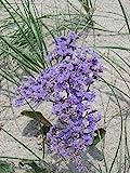 Sea Lavender - 50 Seeds - Limonium