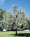 50 Russian Olive Tree Seeds, Elaeagnus Angustifolia